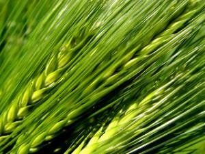 Czy zielony jęczmień podbija świat?